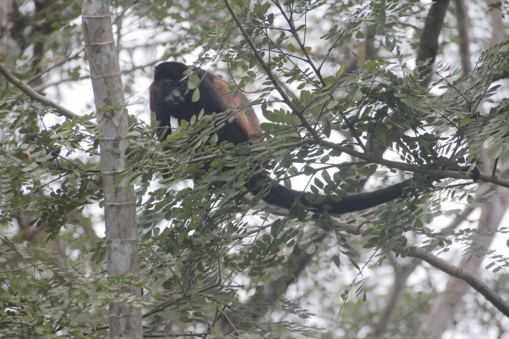 Feb 6 Howler monkey in backyard