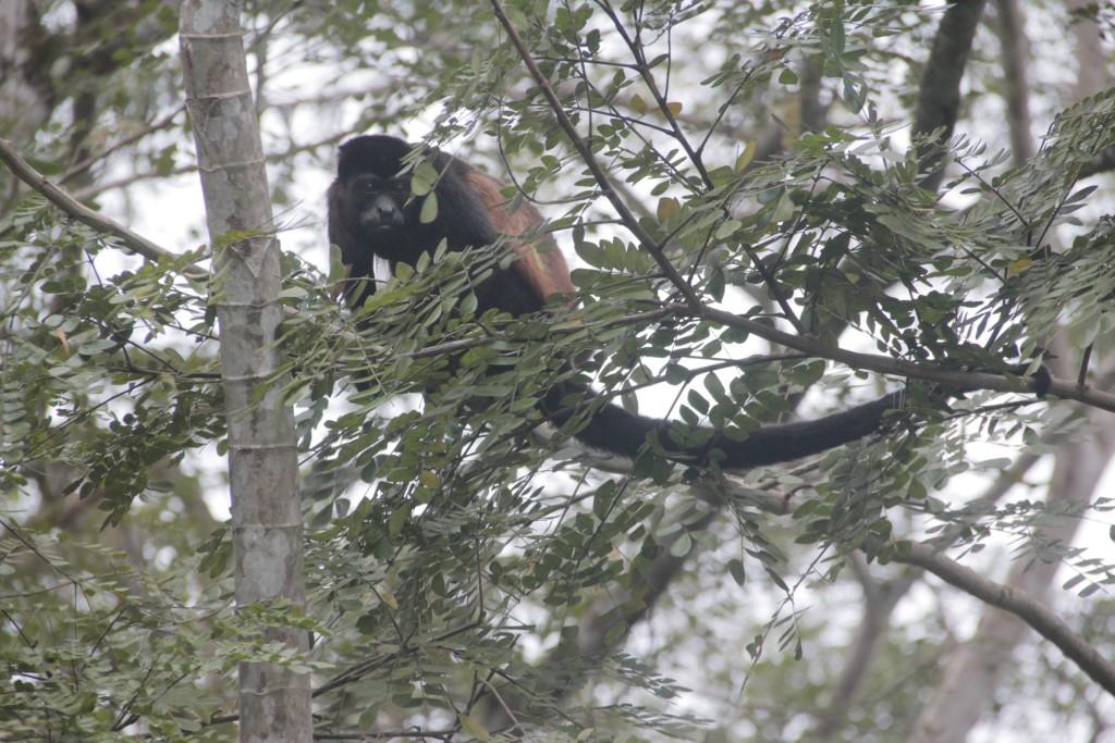 Feb 6 Howler monkey in backyard